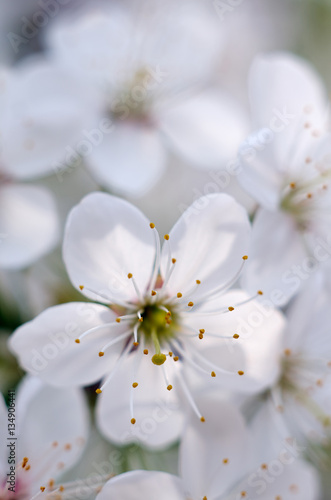 Beautiful flowers of the blossoming cherry tree in the spring time/Cherry blossom © sleto