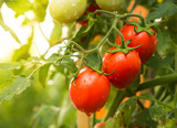 Tomato crop with water drop and sunlight - 134913269