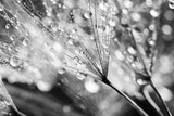 Dandelion seeds with water drops on natural background - 134933821