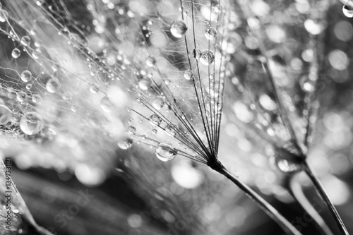Fototapeta Dandelion seeds with water drops on natural background