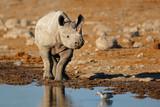 A black rhinoceros (Diceros bicornis) at a waterhole, Etosha National Park, Namibia.