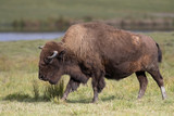 Buffalo standing in a grassy meadow