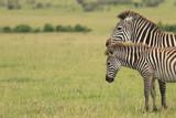 Two  Zebras in Kenya