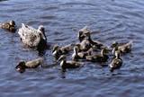 утка с утятами на водоёме