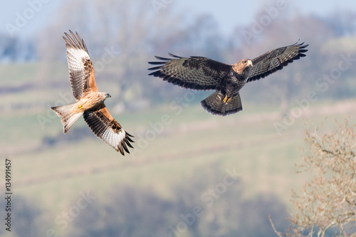 Poster Comparison of red kite (Milvus milvus) and buzzard (Buteo buteo)