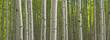 Summer Aspen Forest Panorama