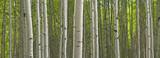Summer Aspen Forest Panorama - 134992084