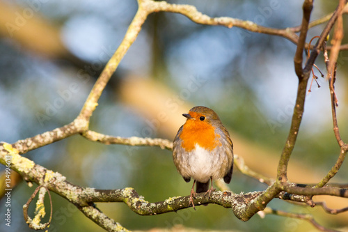 Poster Robin on branch