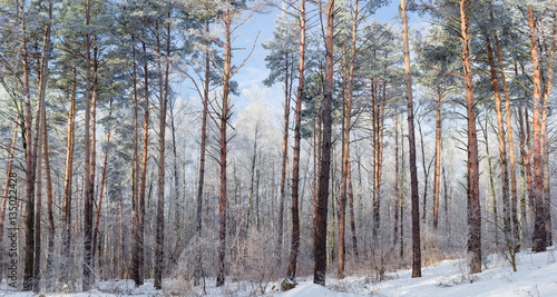 Winter forest with deciduous and conifers trees in sunny day