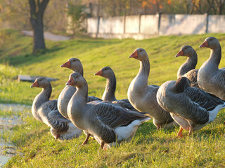 Farmed goose standing on grass
