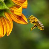 Biene im Flug vor Sonnenblume in Natur