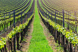 Straight lines of young grape in vineyard