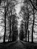 Black  White Straight Trees