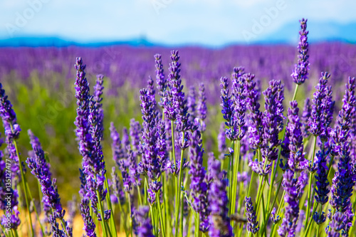 Papiers peints Lavande Lavender flower close up in a field in Provence France against a blue sky background.
