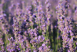 lavender flowers close up on field