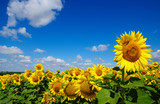 Fototapety field of blooming sunflowers