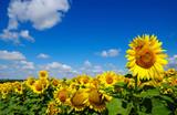 field of blooming sunflowers - Fine Art prints