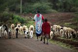 Kenyan family Masai herding goats - 135188828