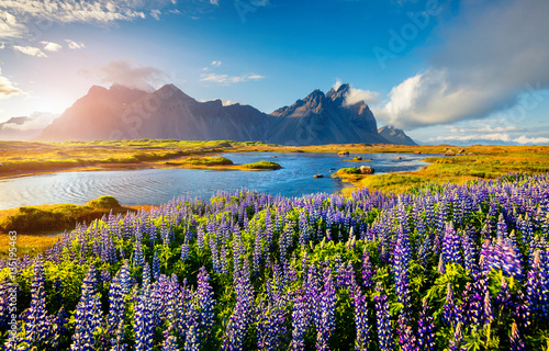 Panel Szklany Blooming lupine flowers on the Stokksnes headland on the southeastern Icelandic coast. Iceland, Europe. Artistic style post processed photo.