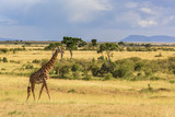 Giraffe at the African savannah