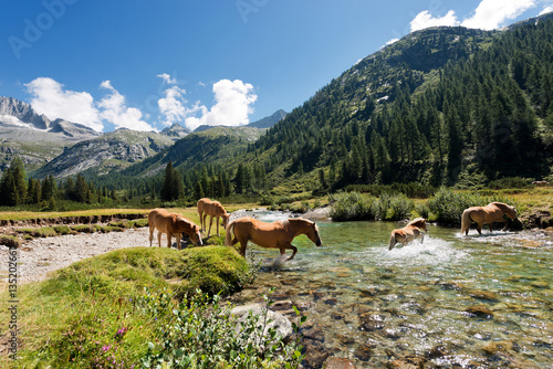 Poster Horses in National Park of Adamello Brenta - Italy