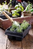 Lavender seedlings in pots.