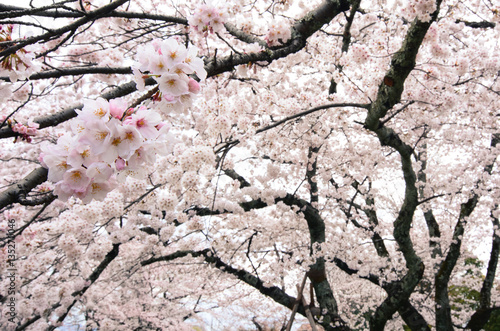 Poster Hanging cherry tree branches heavy with countless white flower blossoms during s