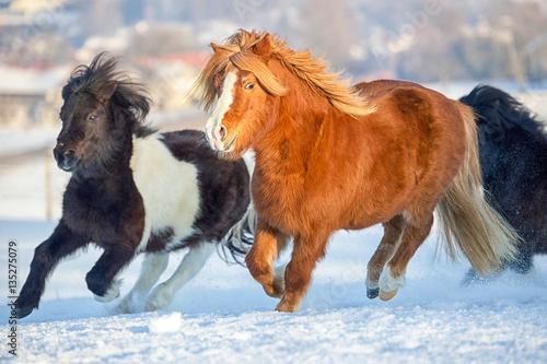Poster Pony Herde galoppiert im Schnee