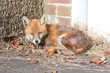 Fox (vulpes vulpes) lying down in urban area warming itself in the sun