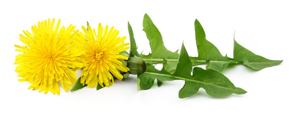 Two dandelions with leaves. © Anatolii