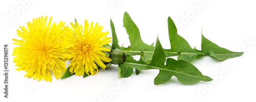 Two dandelions with leaves. - 135296074