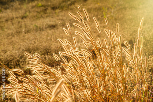 Keuken foto achterwand Paardebloemen en water Beautiful grass flower field under warm sunlight at the sunset m
