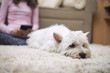 West highland white terrier laying down in teenage girls room.