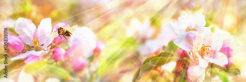 Honey Bee Visiting an Apple Blossom