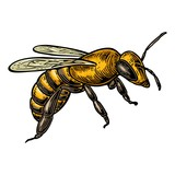 Bee. Isolated vector color illustration on white background. - 135367039