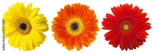 Fotobehang Gerbera Big Selection of Colorful Gerbera flower (Gerbera jamesonii) Isolated on White Background. Various red, yellow, orange