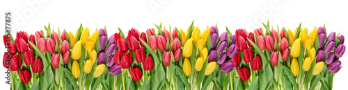 Fresh spring tulip flowers water drops Floral banner - 135377875