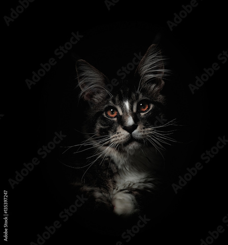 Poster Kitten of Maine coon