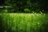 Beautiful forest glade with dandelions, blurred image, selective