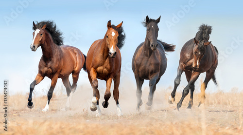 Fototapeta Horse herd run gallop with dust