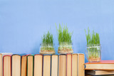 Young seedlings of green wheat sprouts, germinated wheat in glass jar on books over blue background. Agriculture education concept.