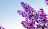 Lilac flowers isolated on blue. - 135438400