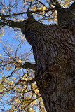 old big maple tree trunk with autumn leaves
