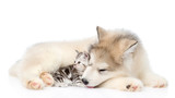 Tabby kitten lying with Alaskan malamute puppy. isolated on white