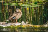 Дикая утка в естественной среде обитания