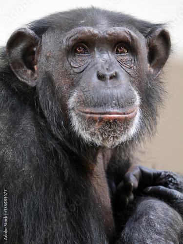 Foto op Canvas Aap Chimpanzee