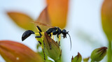 Hornisse in einer Pflanze, Natur, Nahaufnahme, Europa