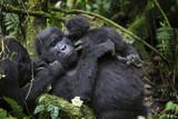 Portrait of wild free mountain gorilla