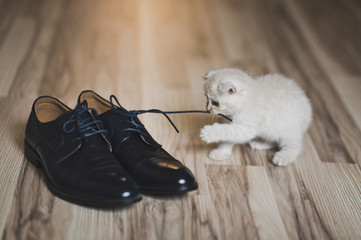 Naughty fluffy kitten plays with shoelaces 7437.