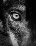 Oko wilka iberyjskiego (Canis lupus signatus)
